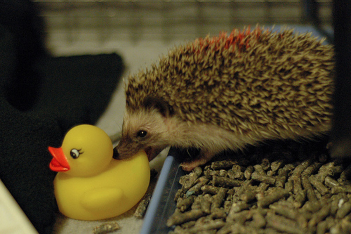 Housing a Pet Hedgehog: Best Cages, Tanks, and Enclosures