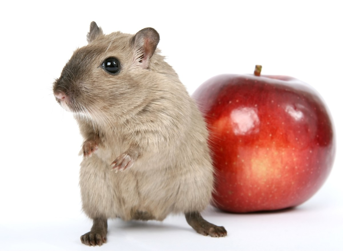 Gerbils love apples, but be sure to keep the seeds out of their reach as they contain poisonous cyanide.