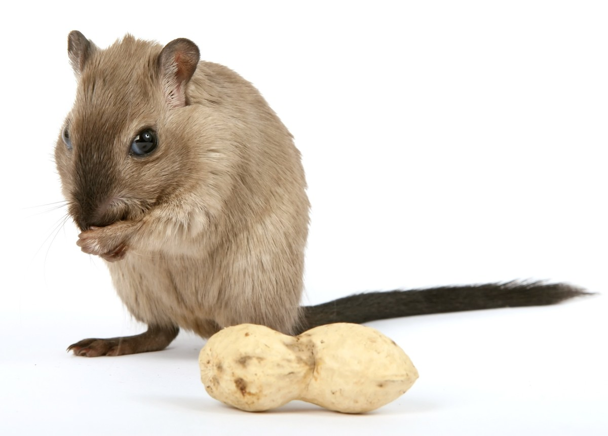 Nuts make a great gerbil treat, but be sure to avoid any that are prepared with salt or flavoring.