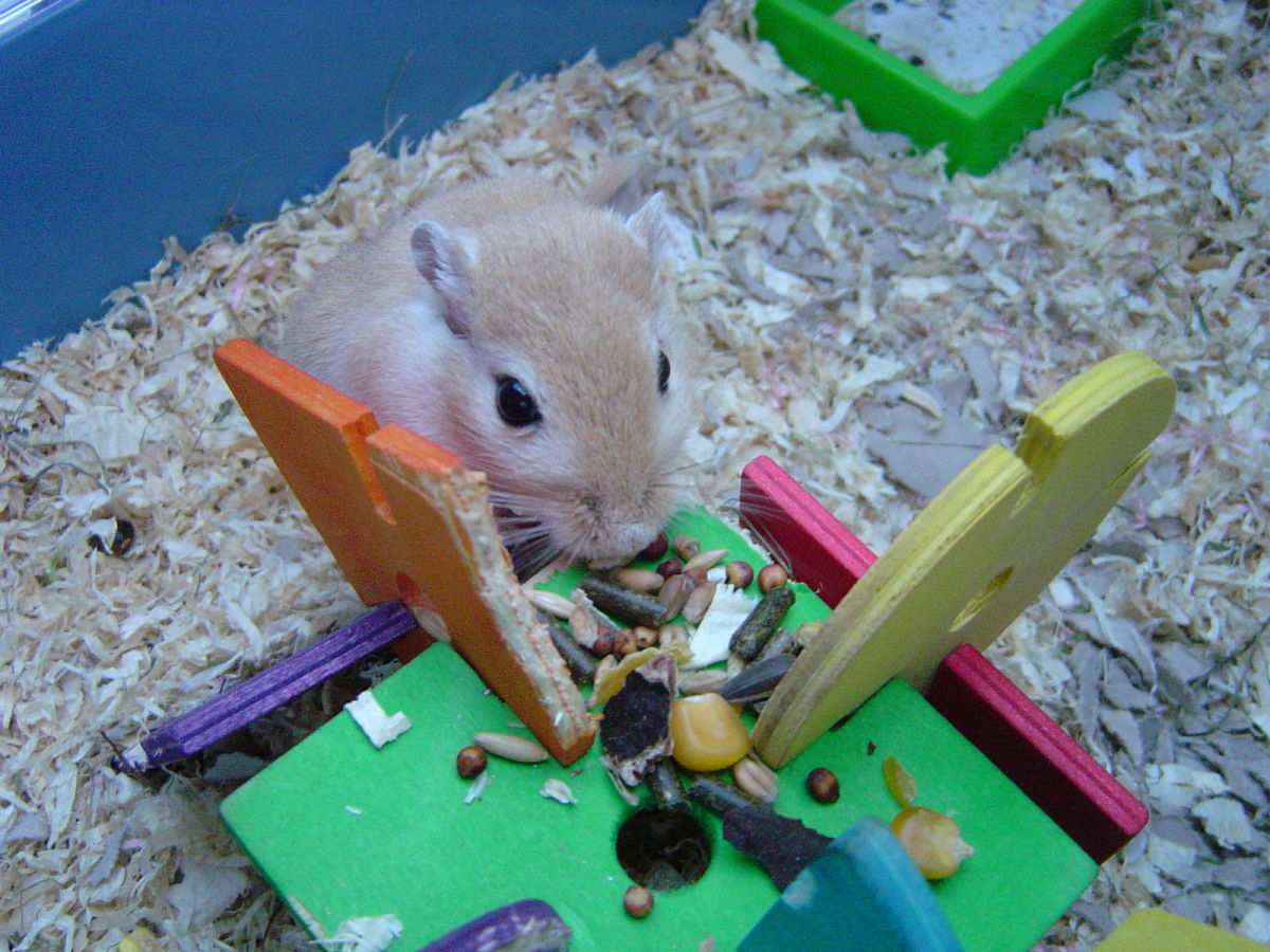 Gerbils can eat many types of seeds, but fruit seeds should be avoided as some are difficult to digest and many are poisonous.