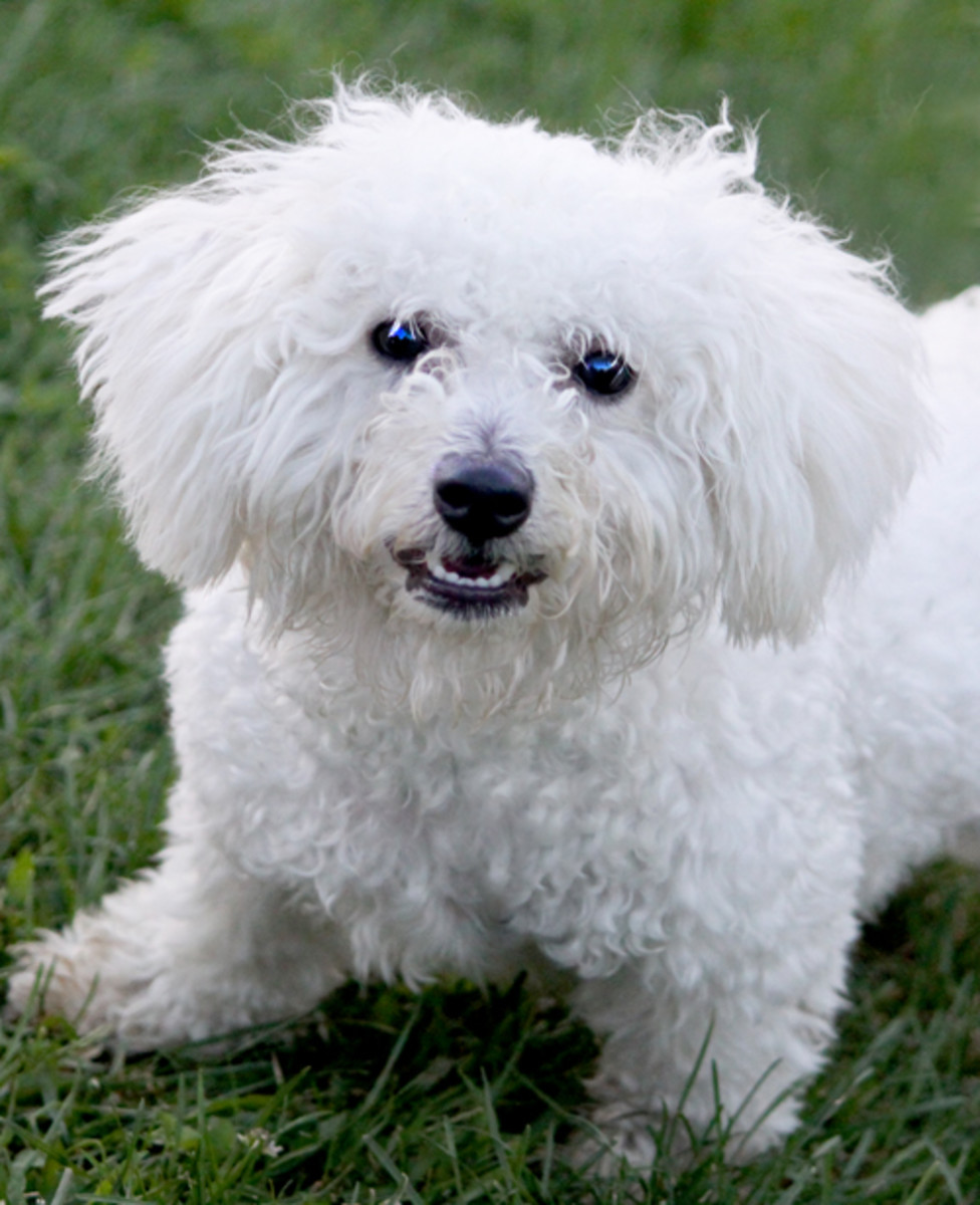 Small white dogs are more susceptible to auto-immune disease and adverse reactions to vaccines.