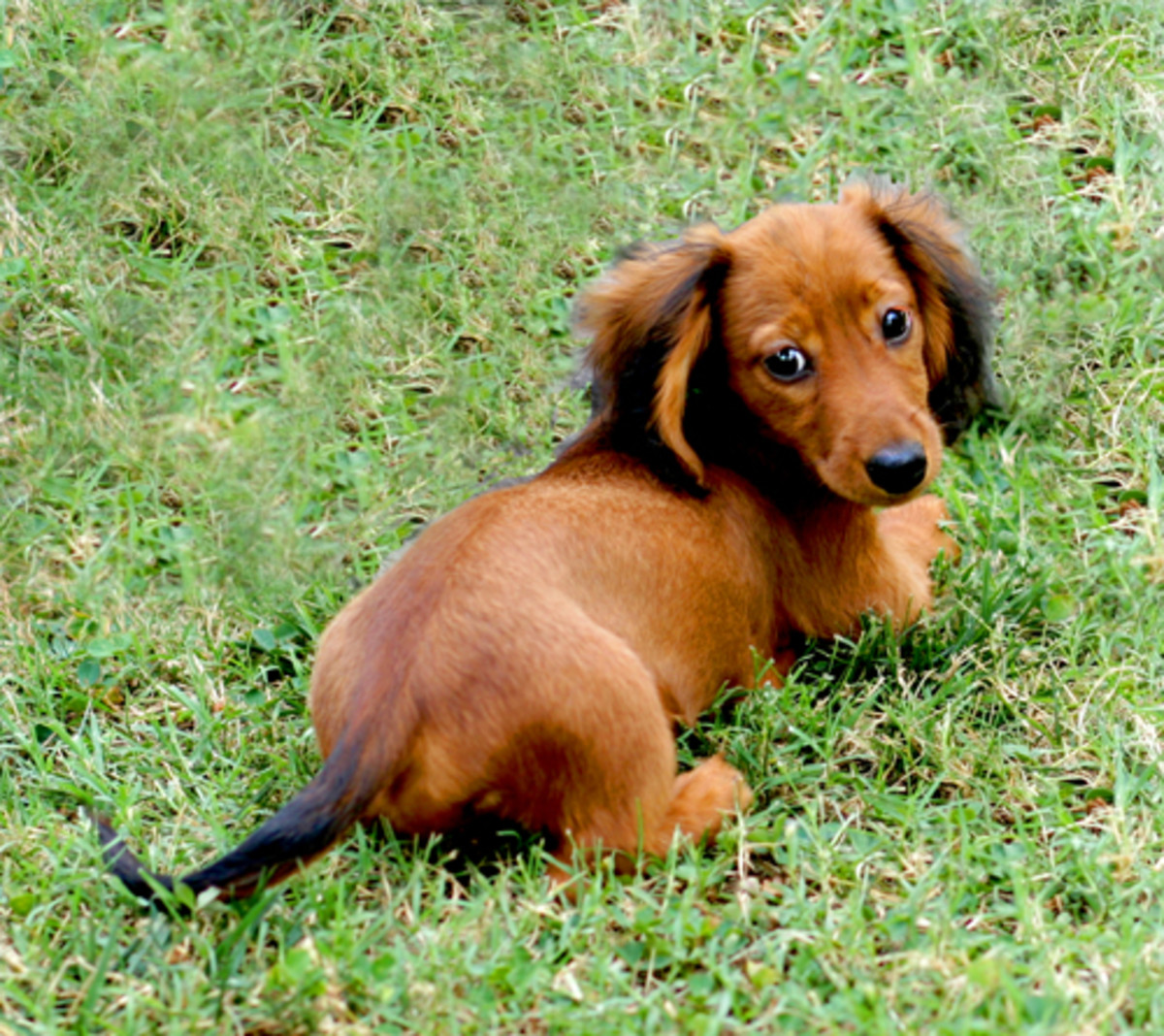 Dachshunds are among the breeds known to be vulnerable to vaccine related auto-immune disorders.