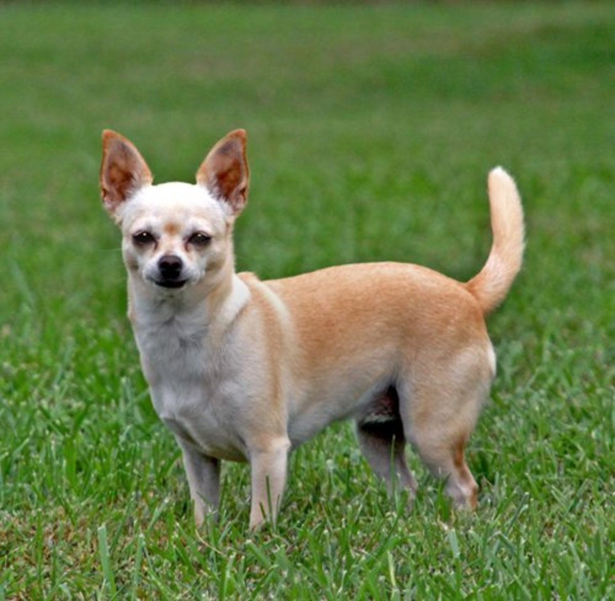This Chihuahua receives the same amount of vaccine as a Great Dane!