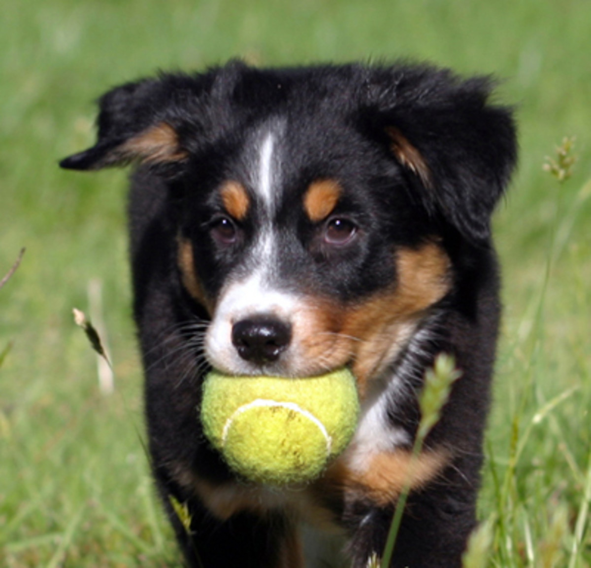 """Delay """"puppy shots"""" until the puppy is eight weeks old and longer when safe circumstances make it possible."""