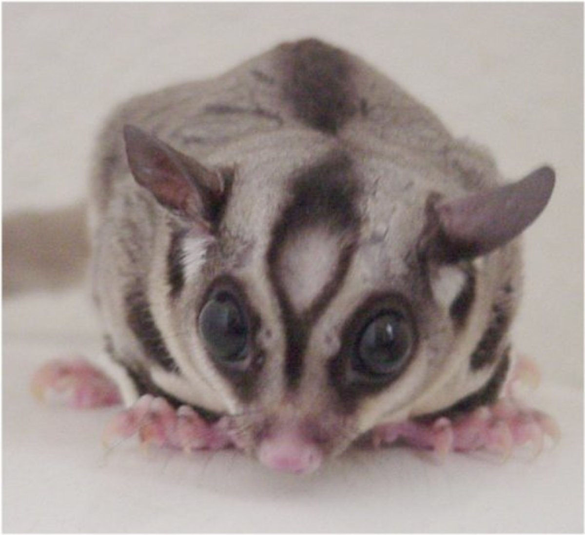 Male sugar glider sitting on a table.