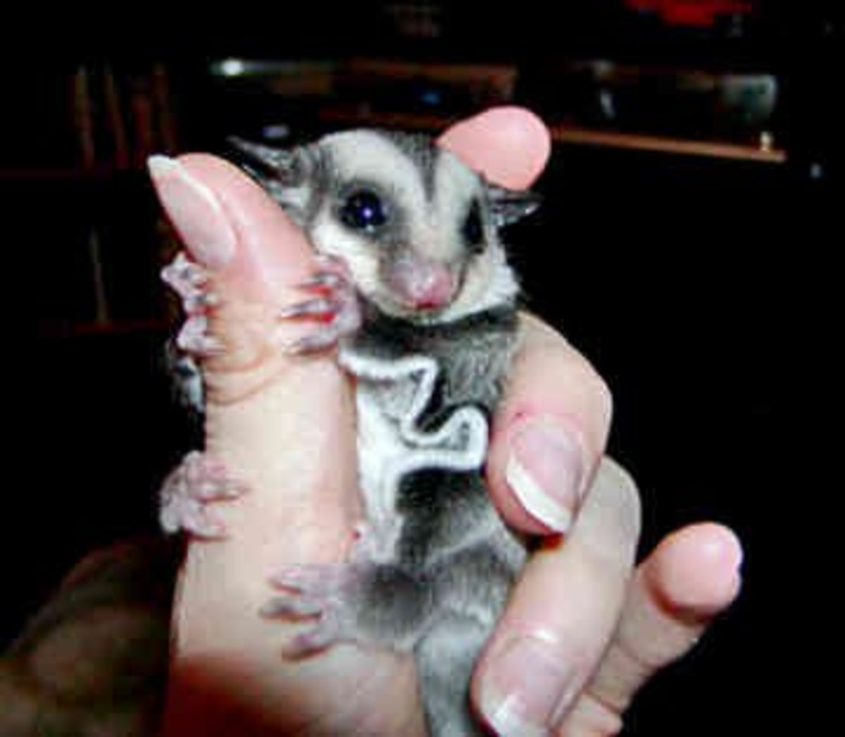 Have you ever met a sugar glider? It is an unusual marsupial that is becoming very popular in the United States.
