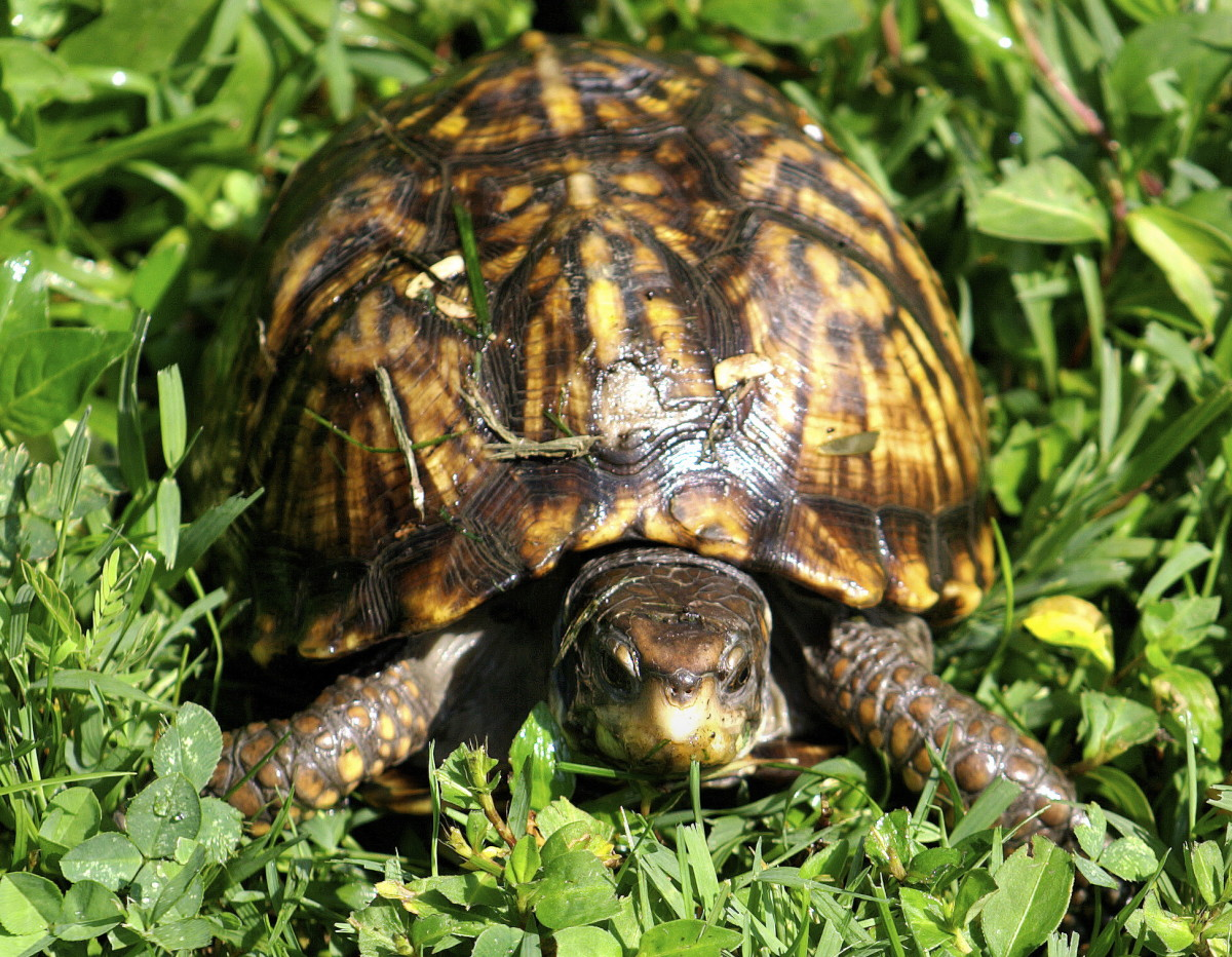 what box turtles eat box turtles can be the most difficult turtles to ...