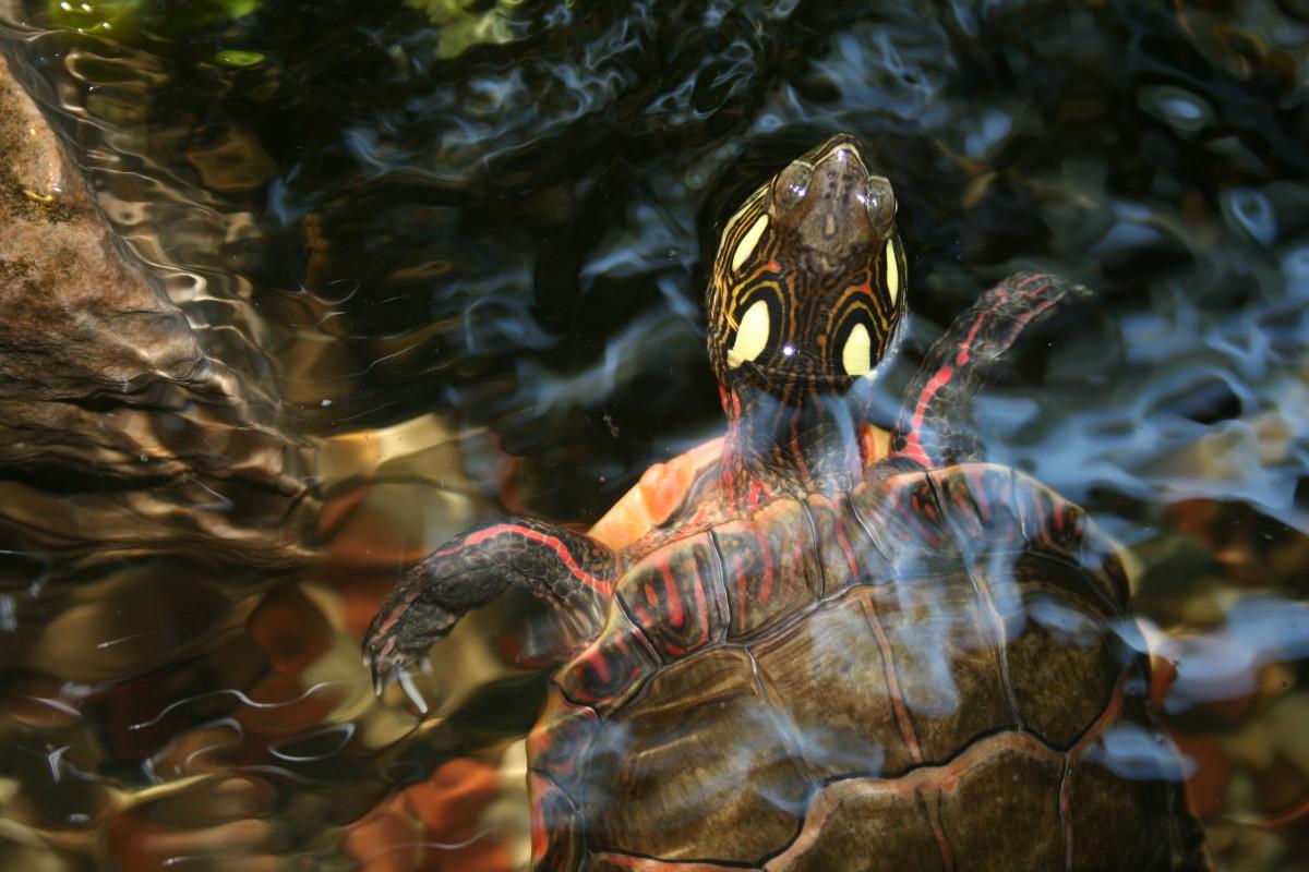 What Do Pet Turtles Eat? | PetHelpful