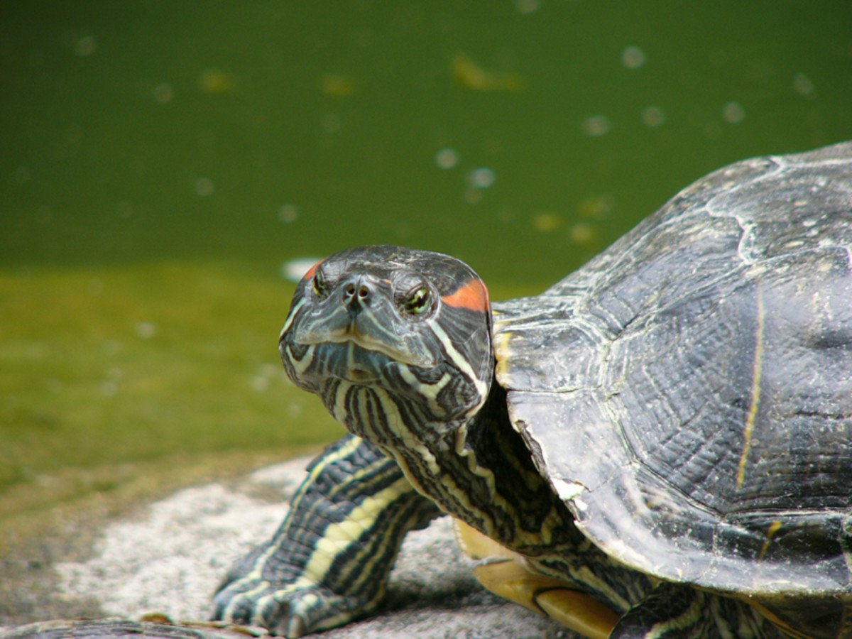 Red eared sliders closely resemble painted turtles