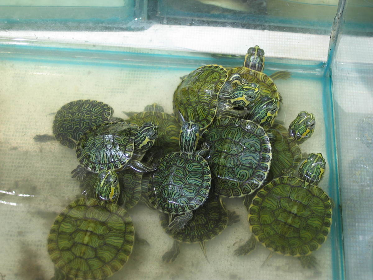 Map and False map turtles are also similar to the red eared sliders and painted turtles