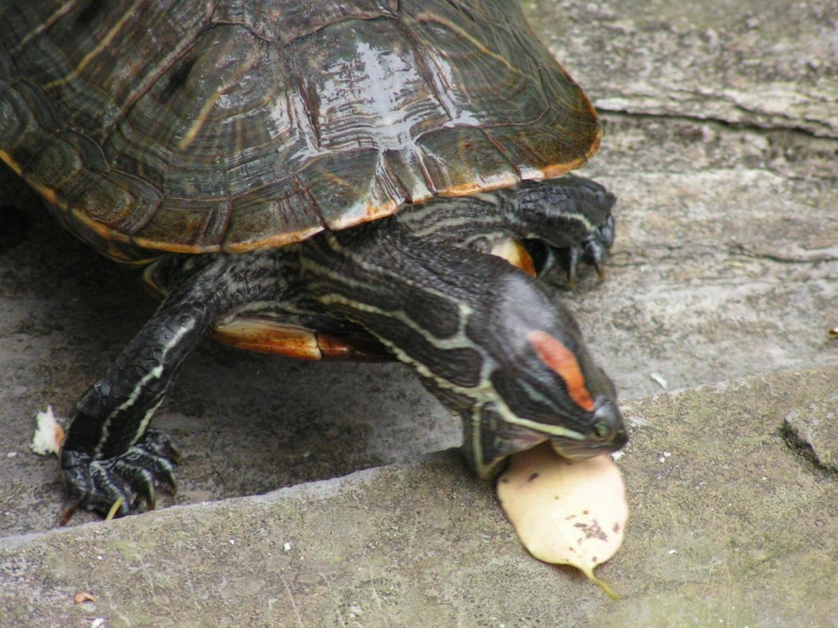 What Can Painted Turtles Eat for Pinterest