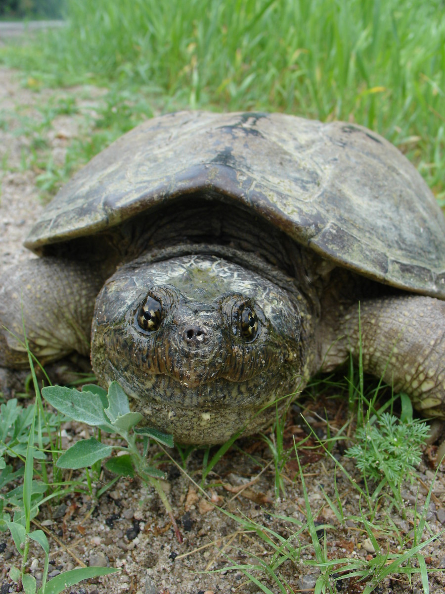 You can feed snapping turtles meat, and they will be happy.  Especially if it wiggles a little first.