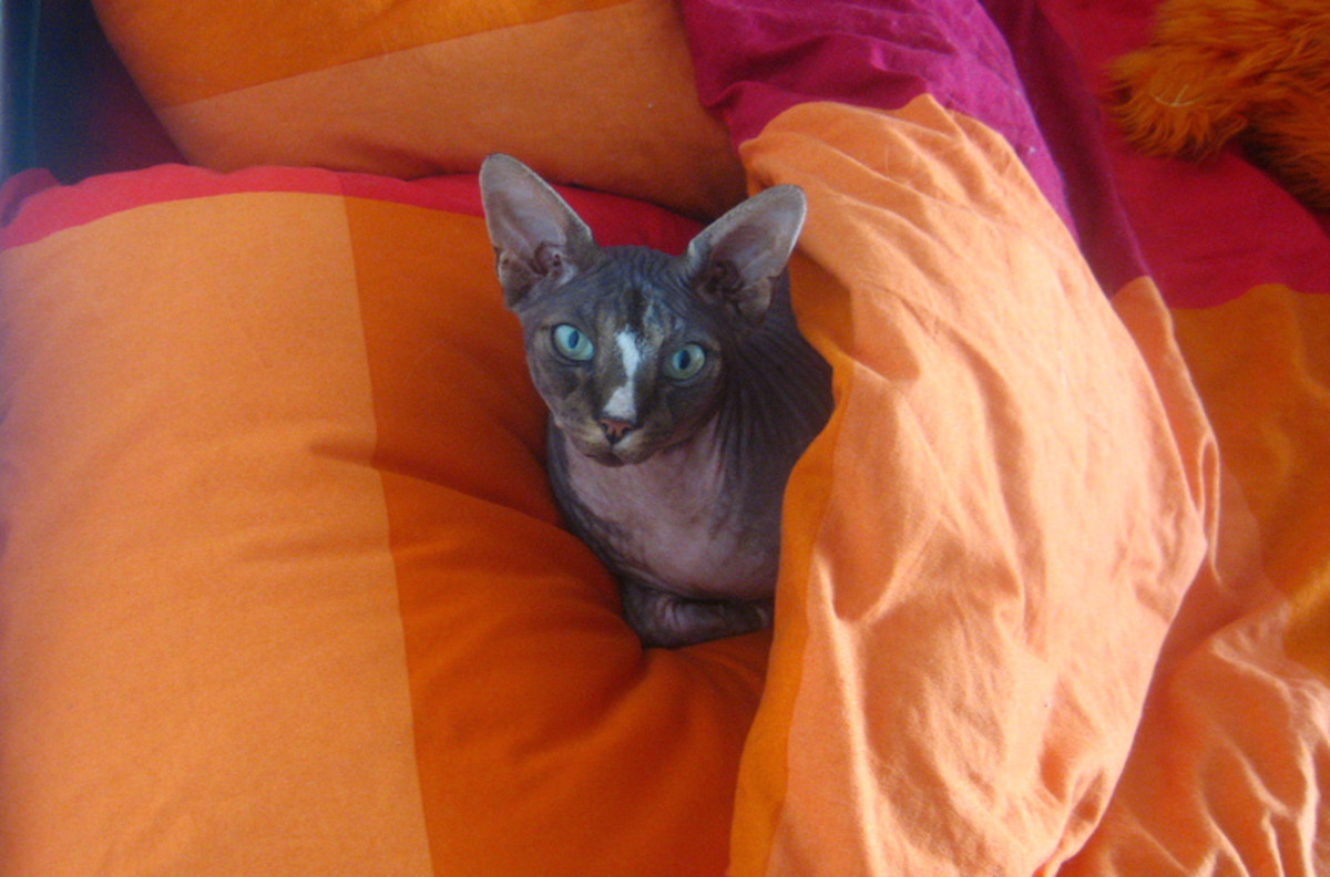 Sphynx cats will want to sleep in warm places, like under the covers or on the radiator.