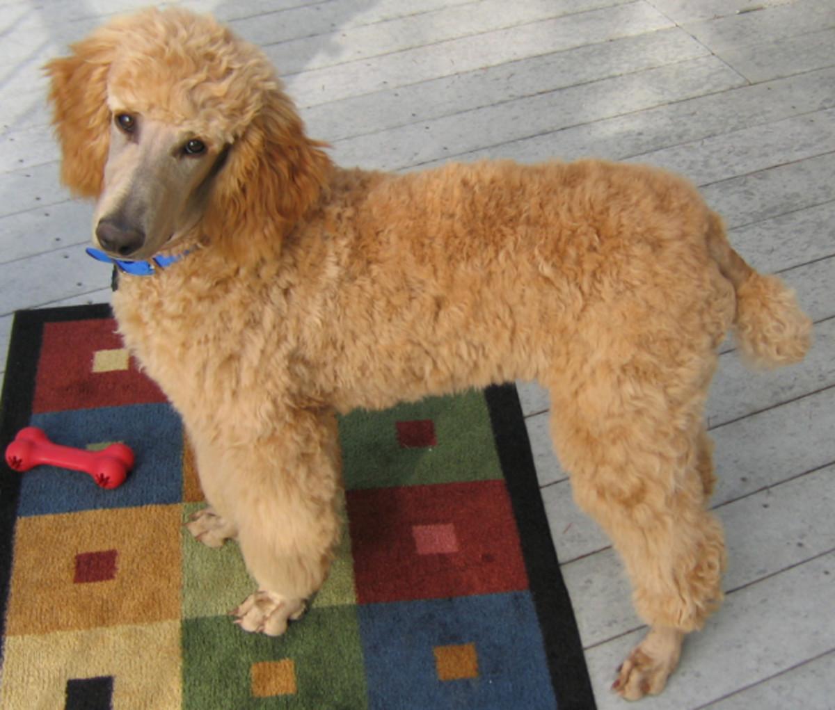 Royal Standard Poodle.