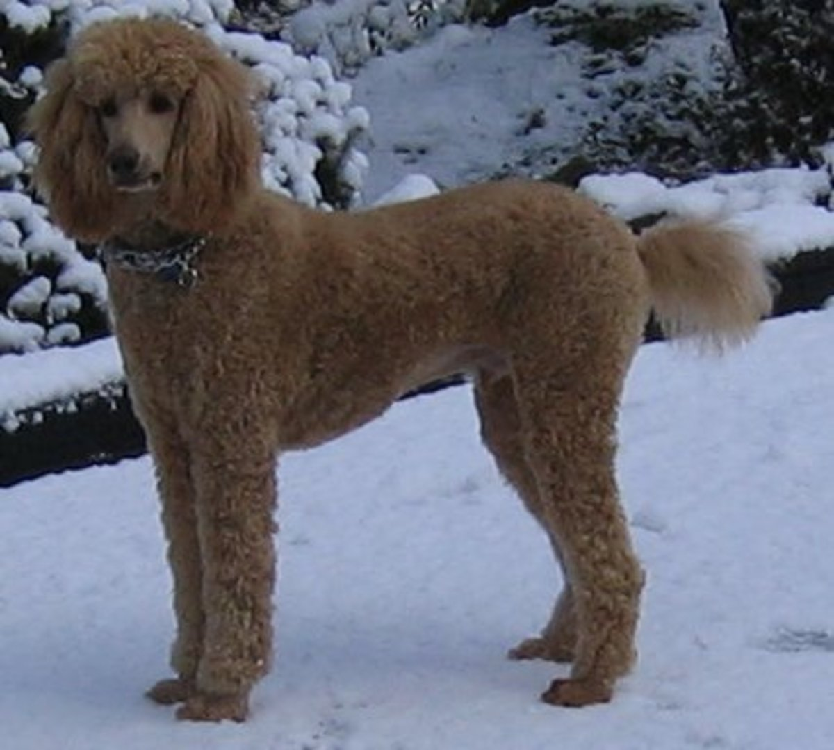 Standard Poodle - Best Dog For You?