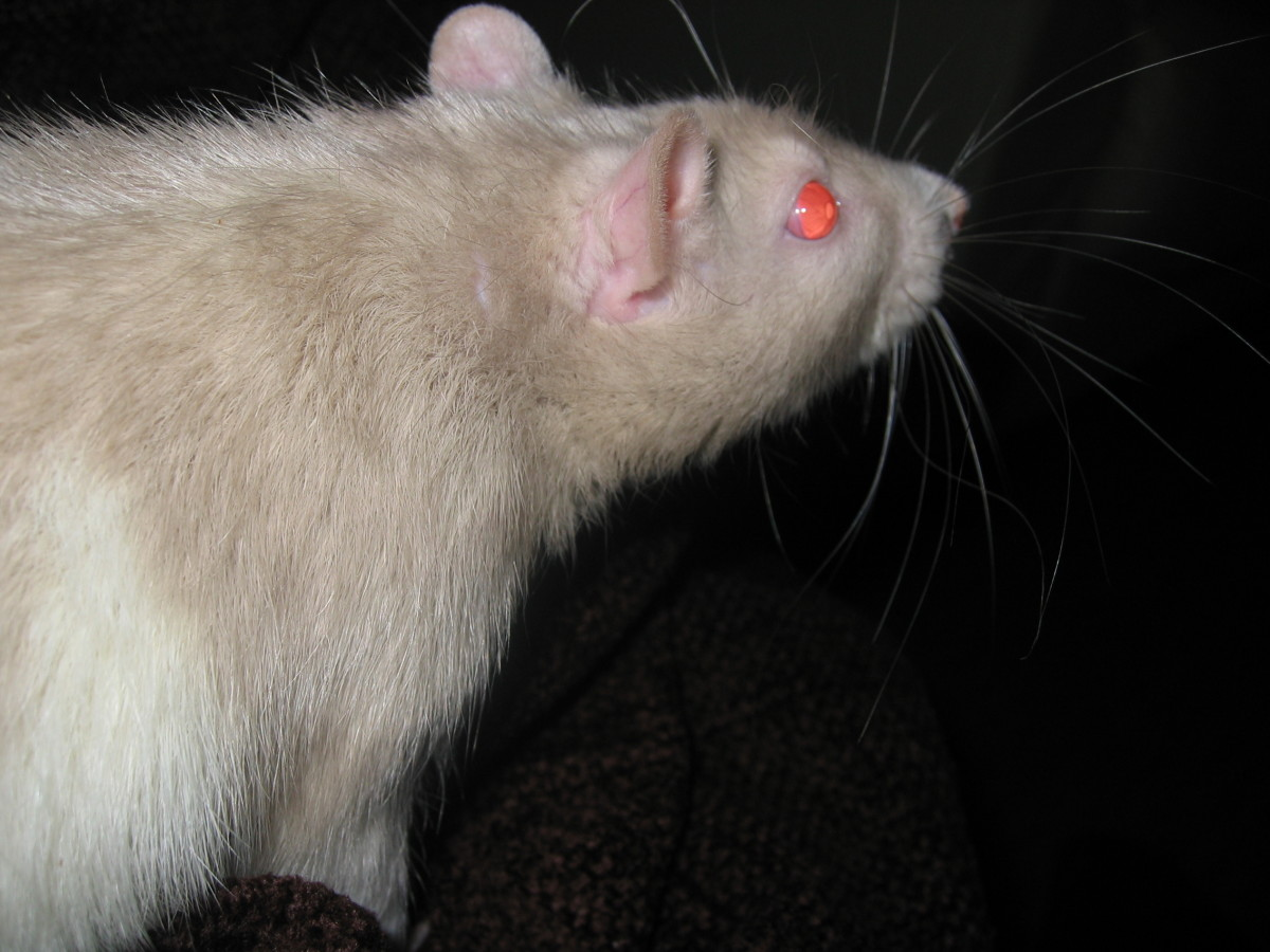 Possibly a beige rat (black + red eyed dilute) with a bareback pattern