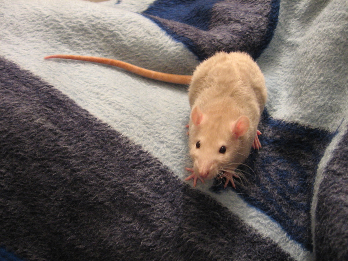A rex rat--note the wavy hair and curly whiskers.