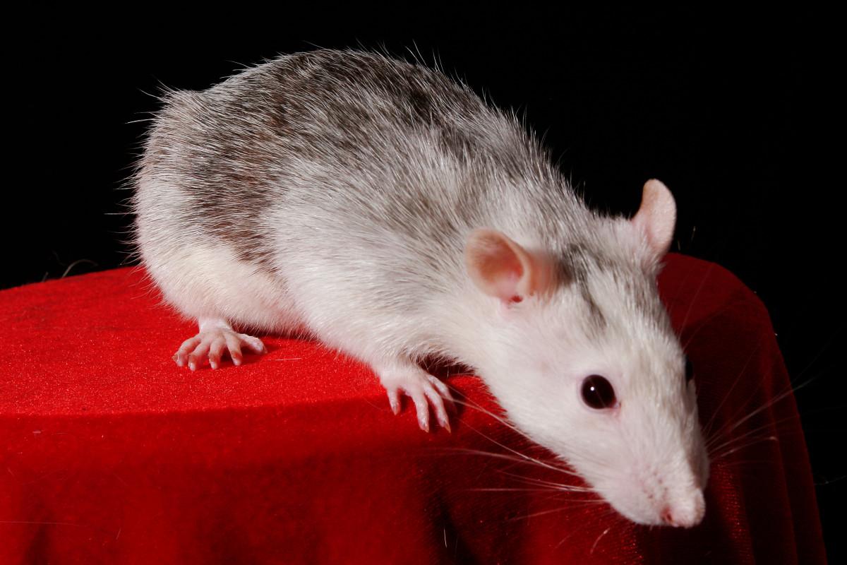 A beautiful husky rat! Isn't it striking?