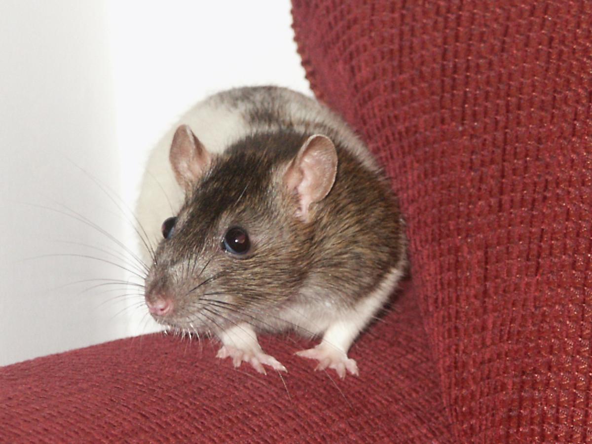 An agouti hooded rat.