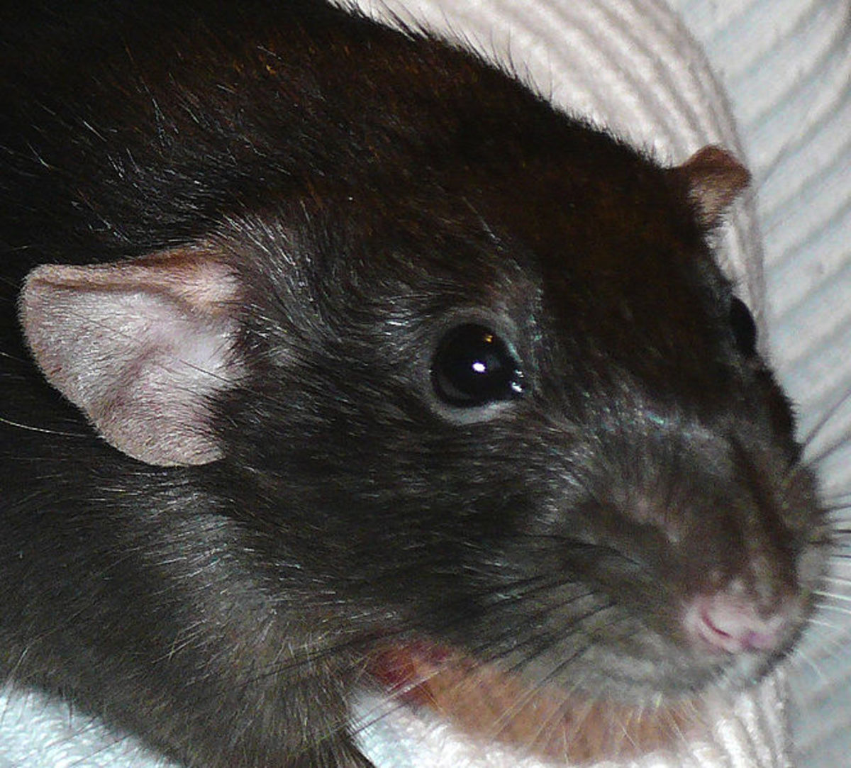 A black dumbo rat