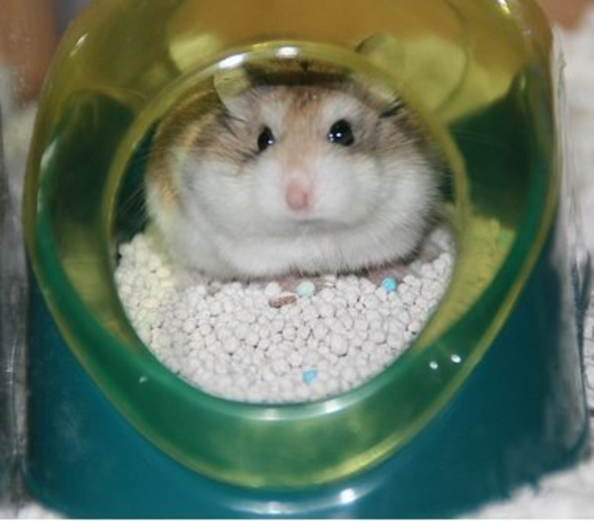 Here's an example of a hamster potty (and a potty-trained hamster!).