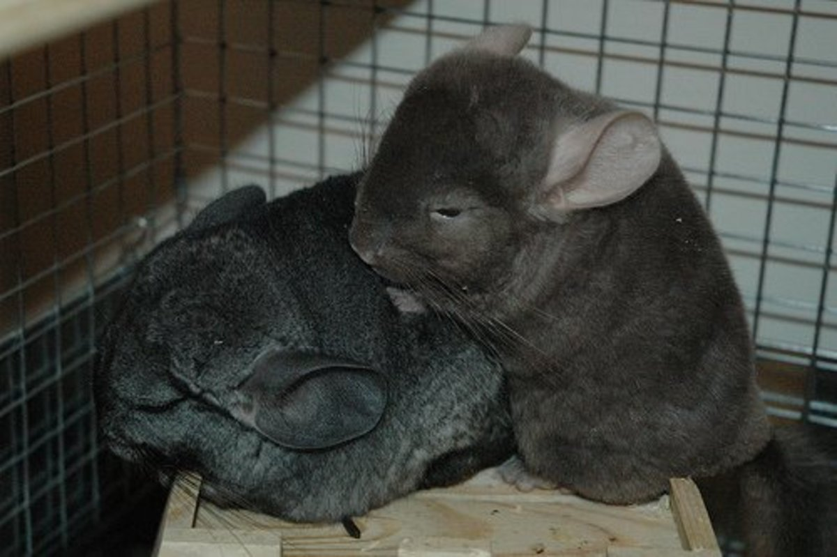 Chinchilla care - photo#29