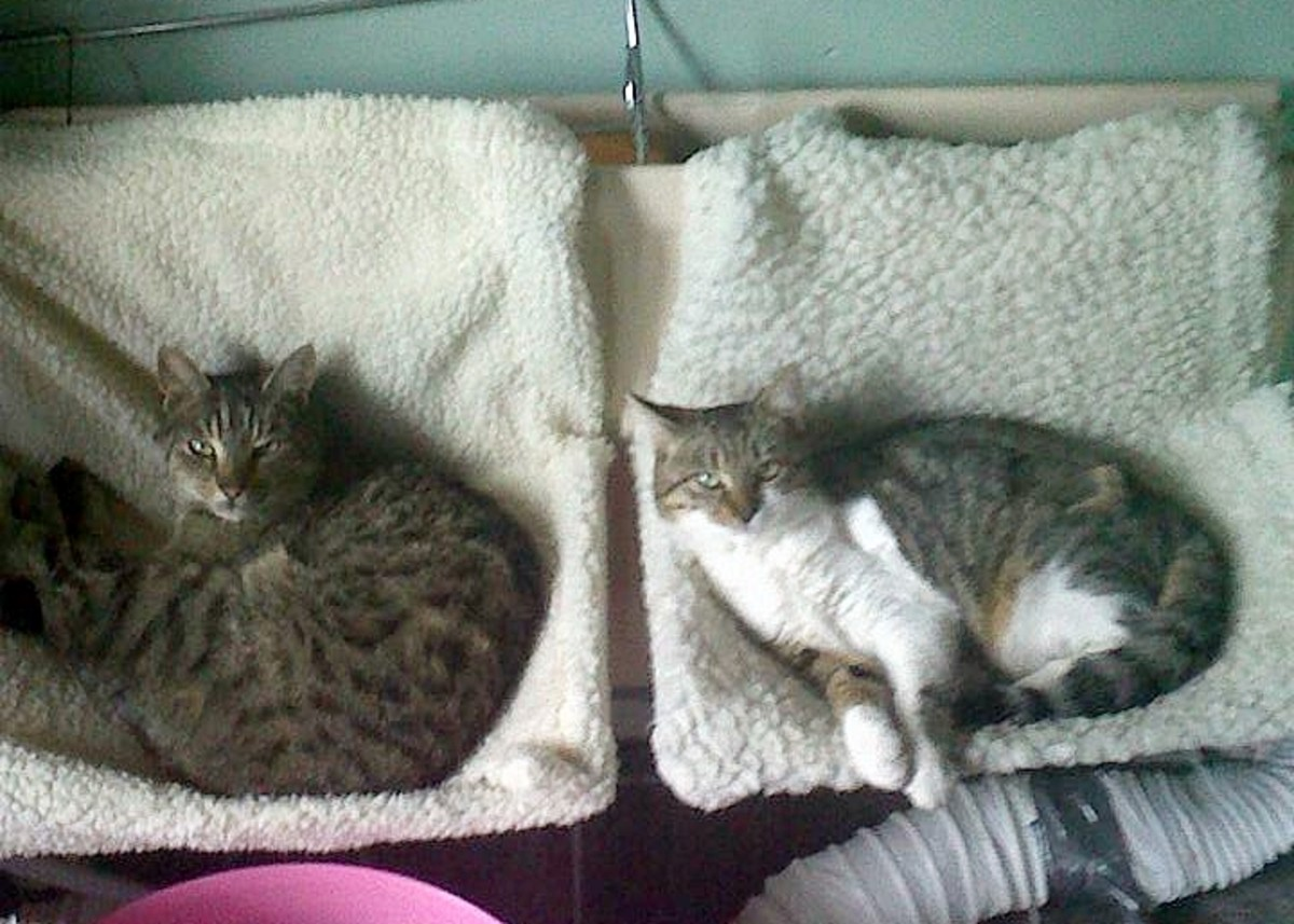 My FaceBook friend Elaine's two cats Mucker (The Tabby) and Tilly (The one with the white front) are cozy and warm on their fleecy radiator beds