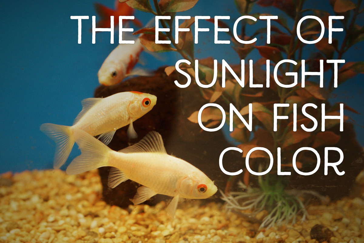 Goldfish have pigment in their skin that reacts to light.
