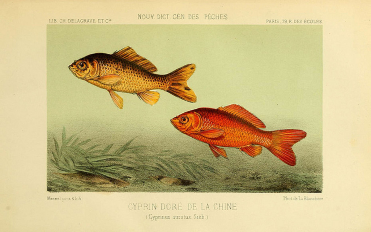 Orange goldfish (Carassius auratus) were in fact bred for the color. Originally, they were an olive green like the fish shown on the left.