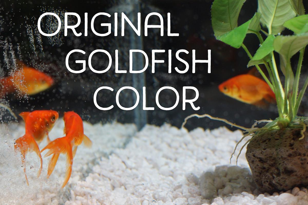 Goldfish haven't always been orange.