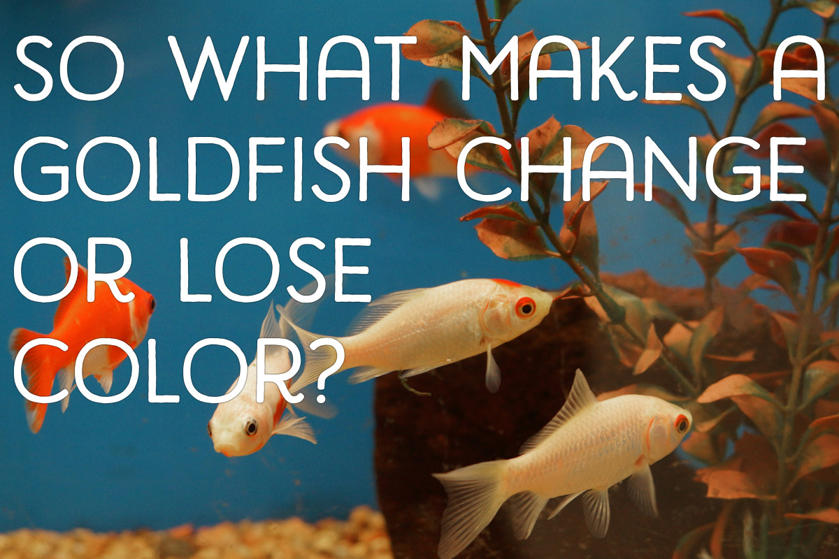 So what makes a goldfish change or lose its original color?