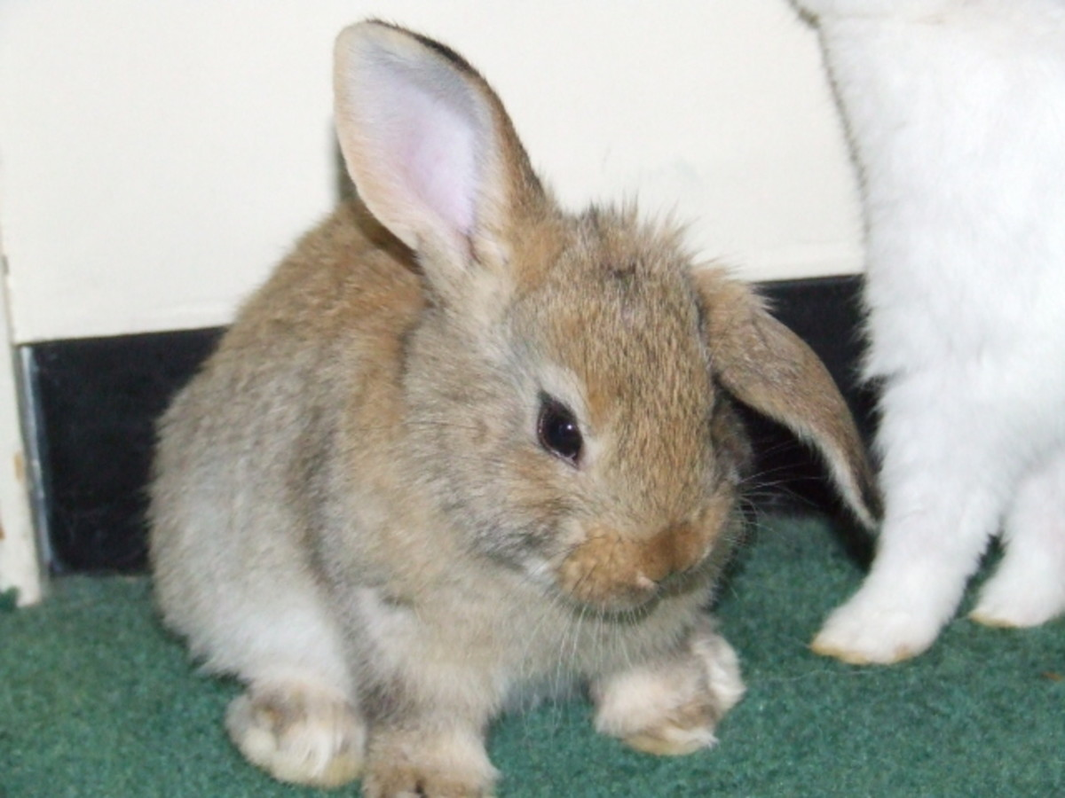 What Makes Rabbit Ears Go Floppy?