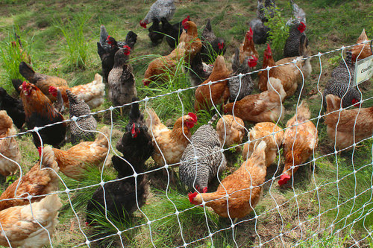 Various Breeds of Chickens