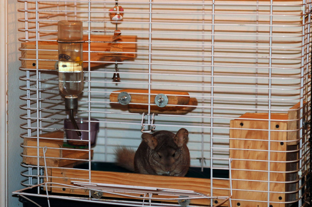 My chinchilla, Dusy, in her cage