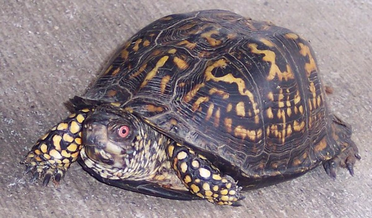 Best Beginner Pet Turtle And Tortoise Pethelpful