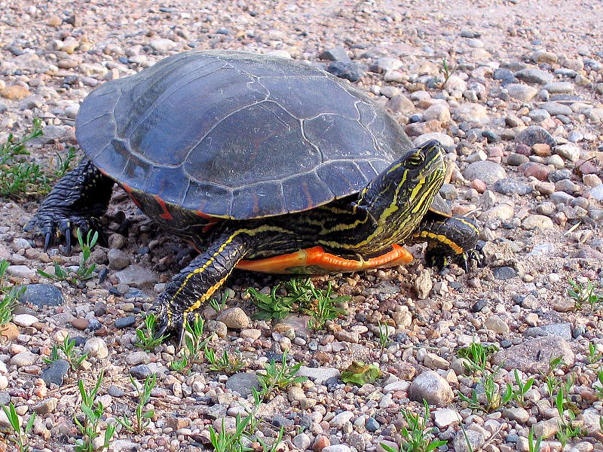 Best Beginner Pet Turtles and Tortoises | PetHelpful