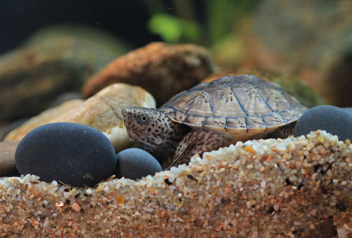 Best Beginner Pet Turtles and Tortoises   PetHelpful