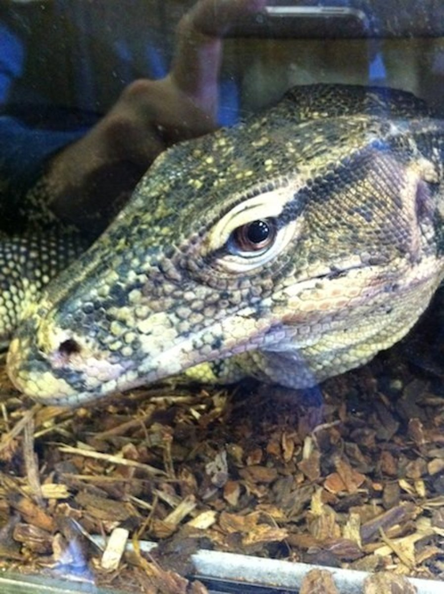 A picture I took of a giant Water monitor lizard (Varanus salvator) at a reptile shop in Lodi, California. See what I mean when I say he's looking back at you?