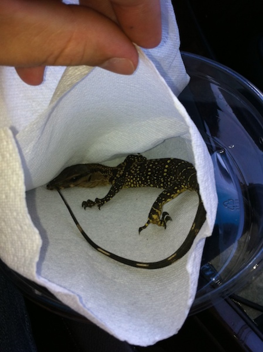 A hatchling Black Roughneck monitor (Varanus rudicolliis) I purchased.