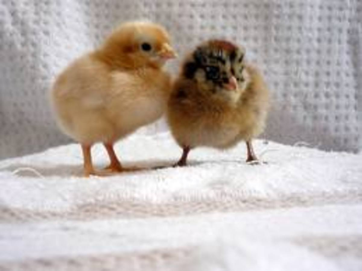 Baby Chicks are very cute, but take dedication to raise!