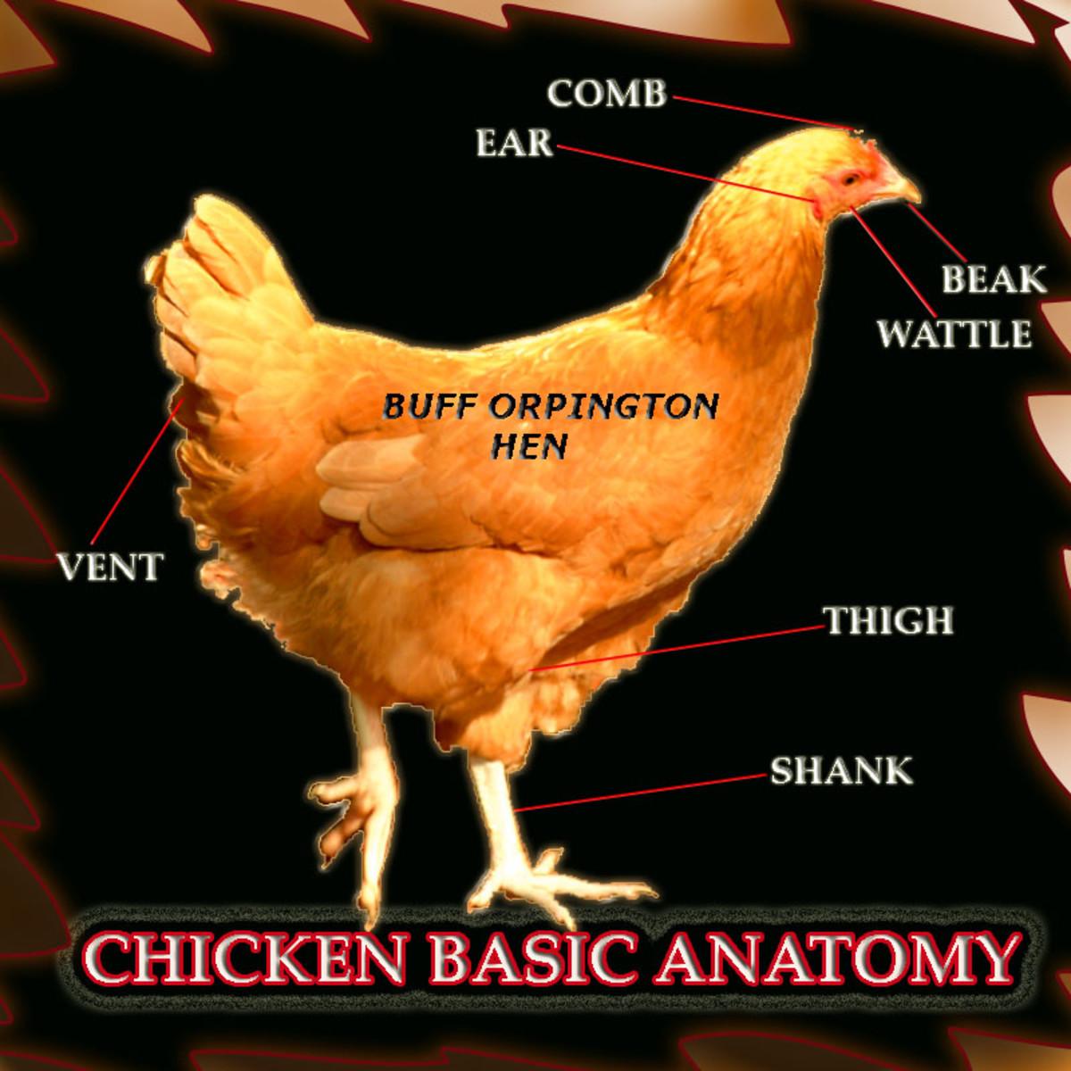 Diagram of basic chicken anatomy