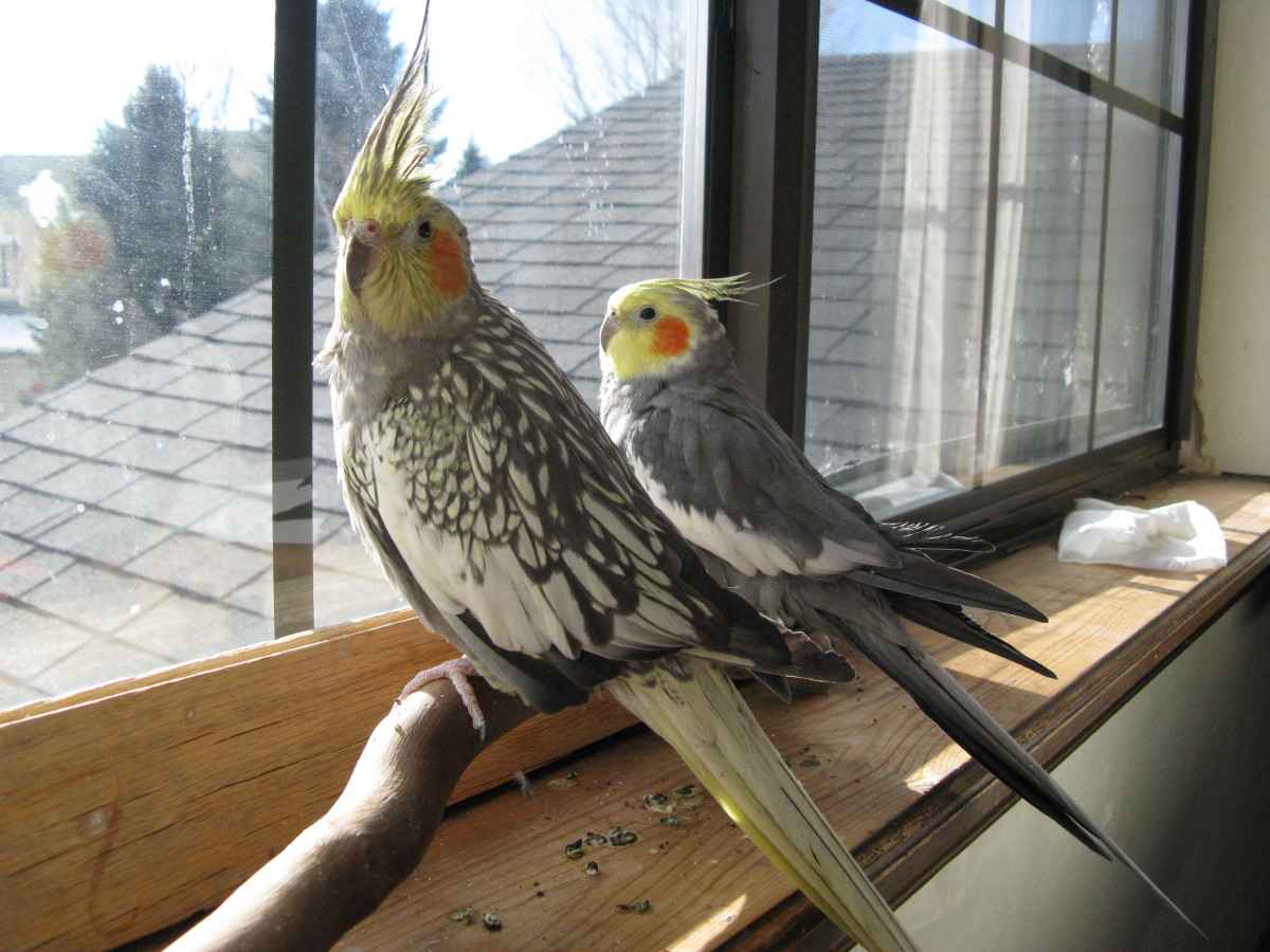 """Pet cockatiels love looking out the window. You'll notice them perk up and raise their """"interested"""" crest when a car drives up or someone walks by."""