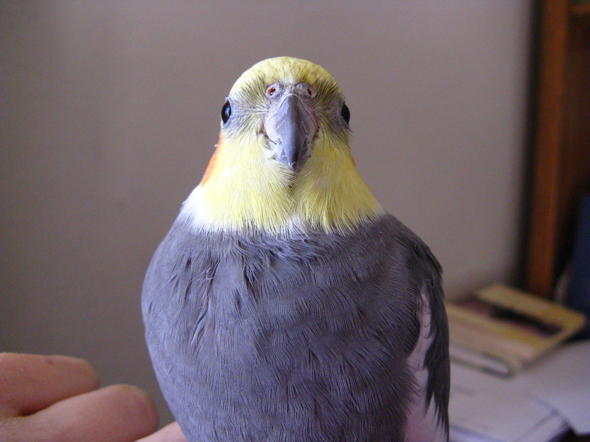 Everything You Want to Know About Cockatiels as Pets