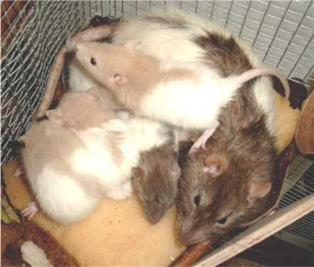 Rats 6 weeks old with their mother. By now you can give them to caring people. Males and females are already seperated.