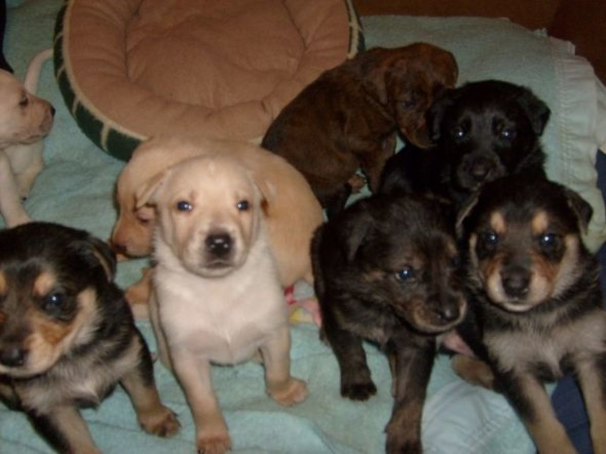 Four-week-old pit bull puppies!