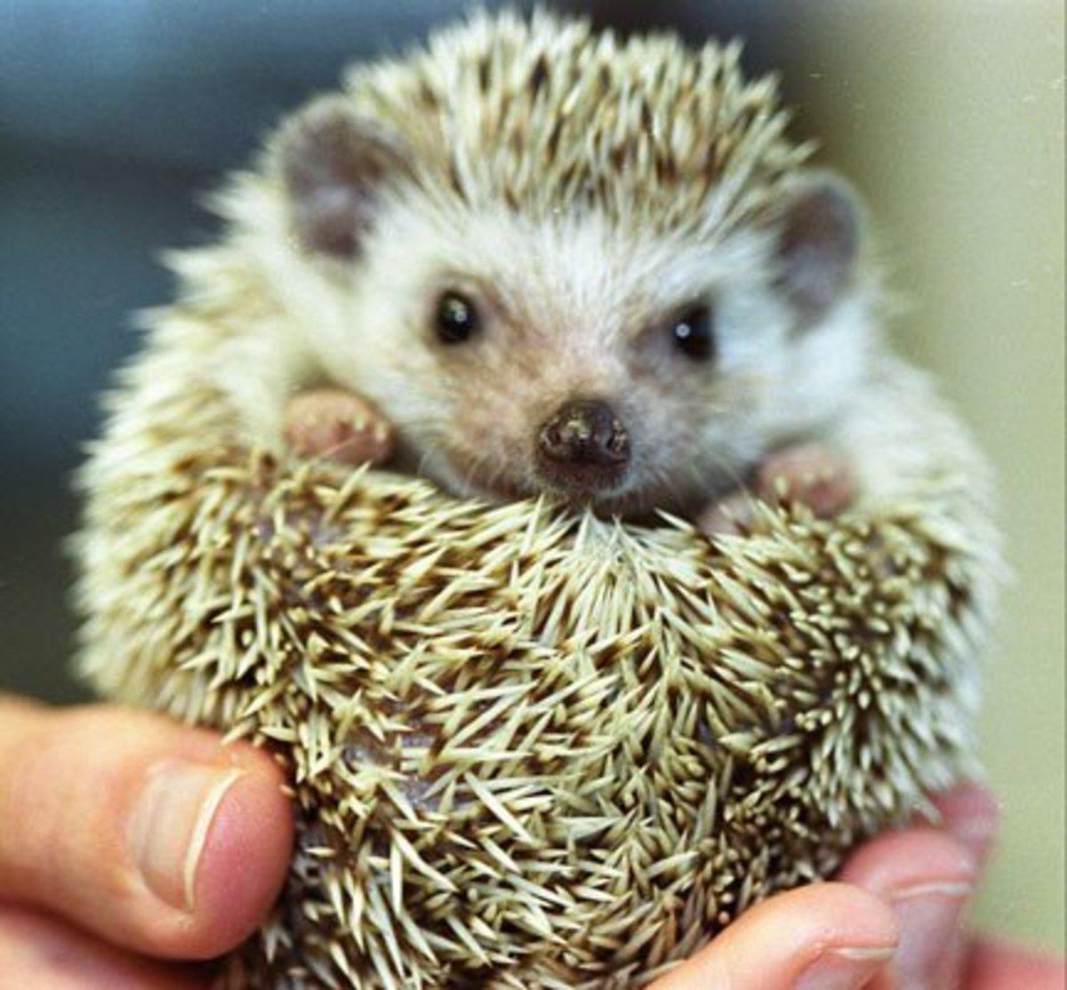 """""""Domesticated"""" Hedgehog"""