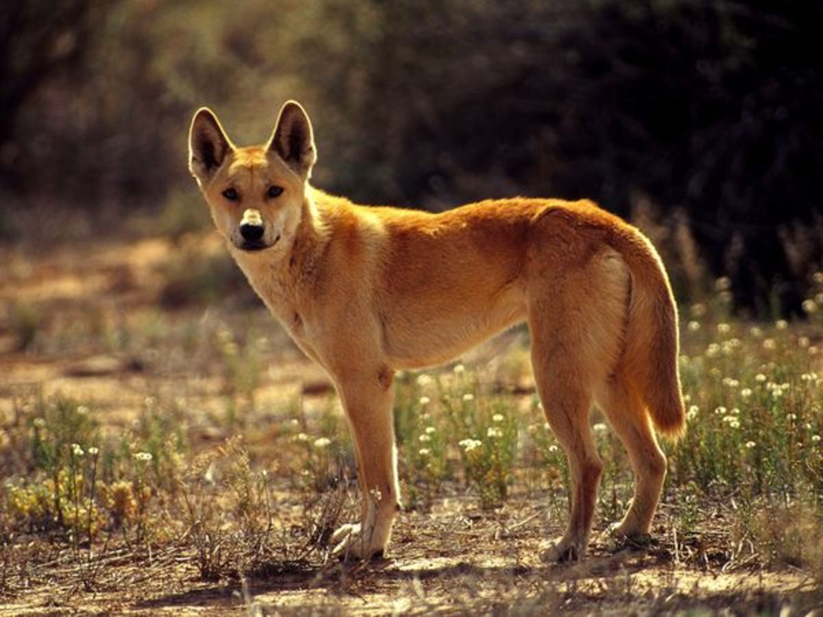 Dingos (Canis lupus dingo) are descendants of early sub-domesticated dogs (closer to Canis lupus) brought to Australia by settlers.