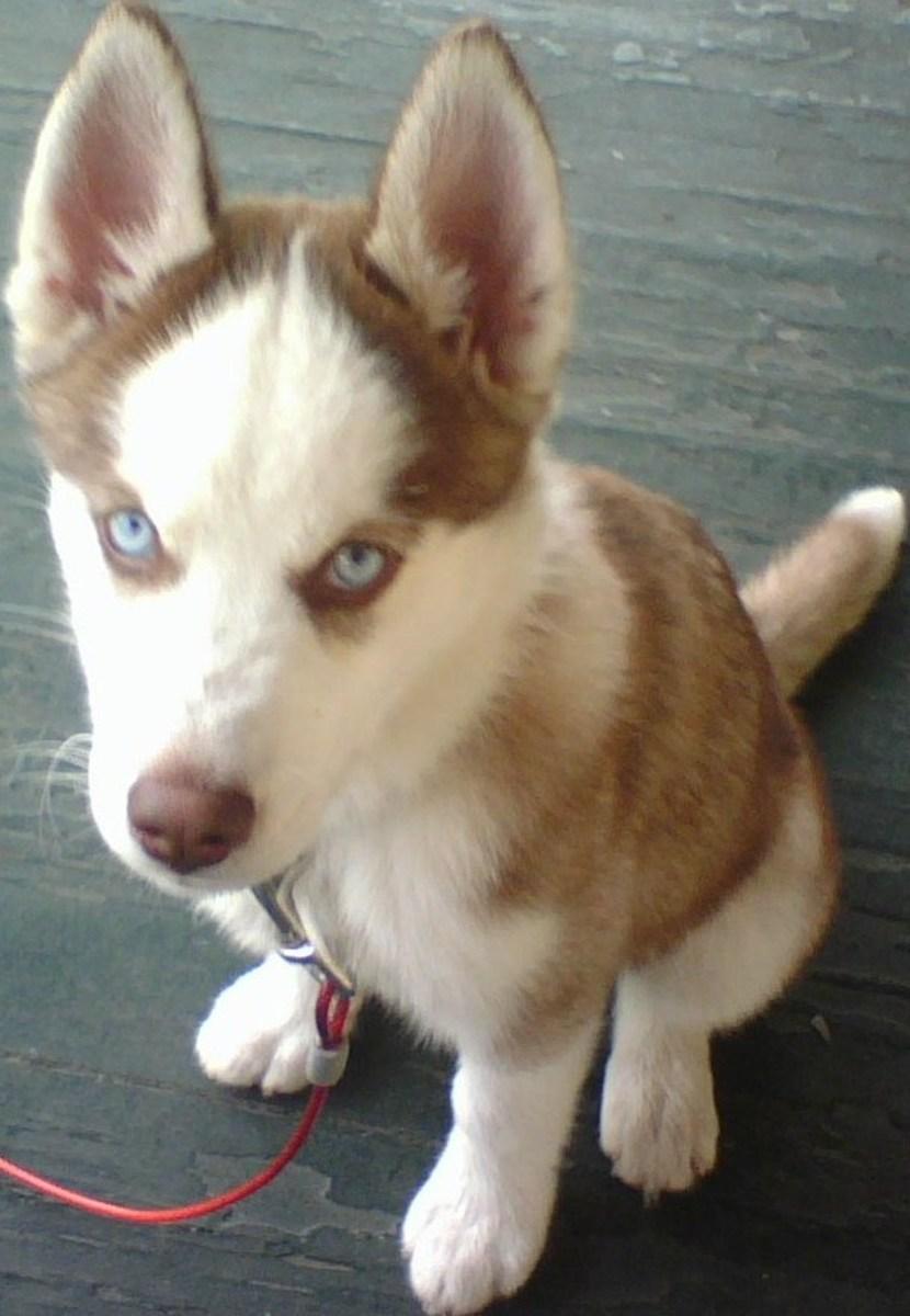My Siberian Husky Guide