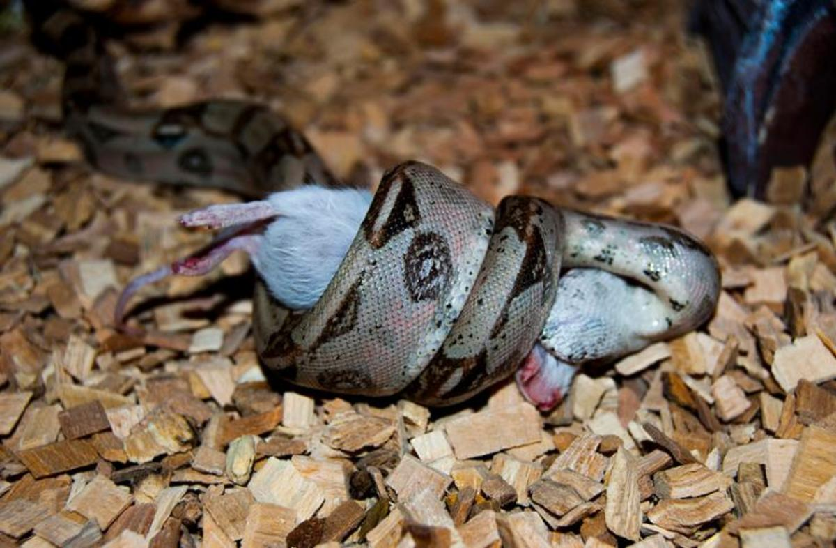 Common boa eating
