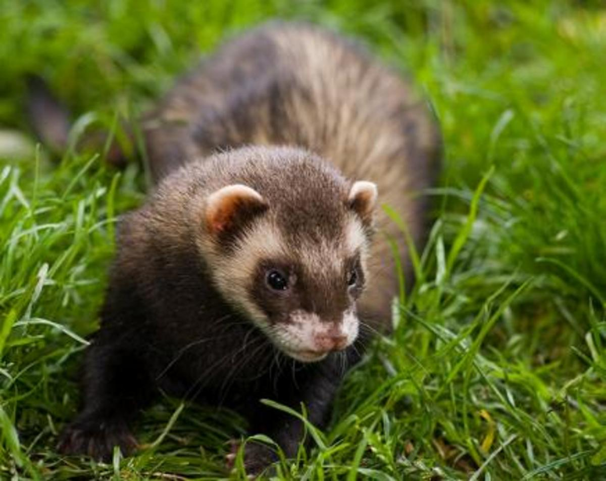 Some idiots actually feed live prey to ferrets.
